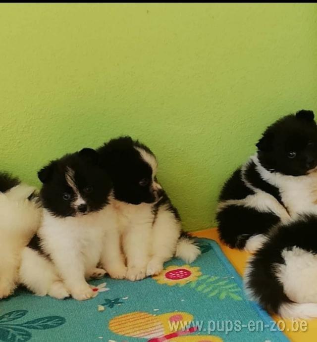 mini dwergkees wit-zwart
