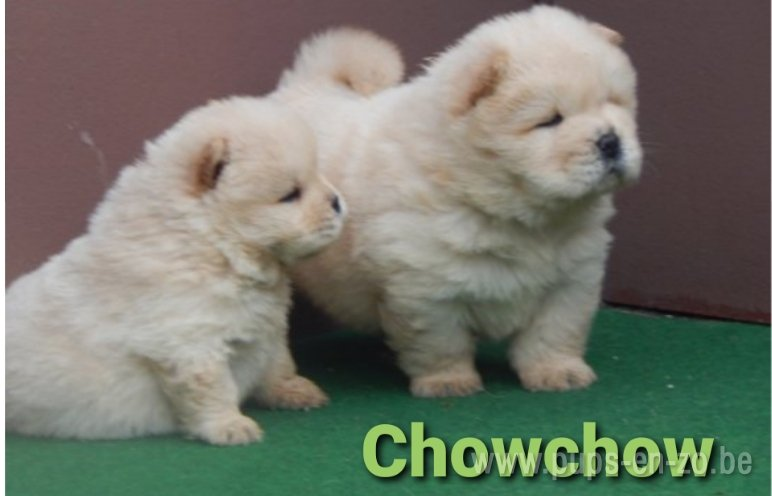 Chow-chow wit