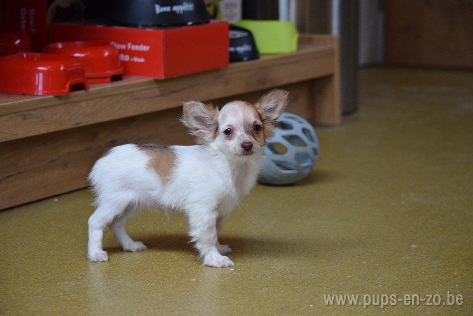 Chihuahua ch6681