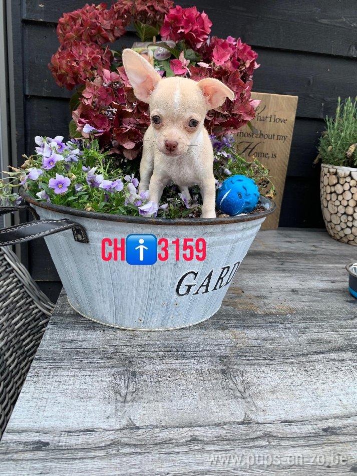 Chihuahua ch3159