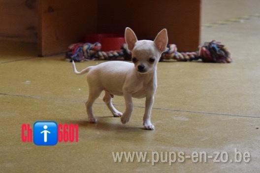 Chihuahua ch6601