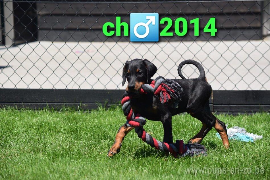 Dobermann ch2014