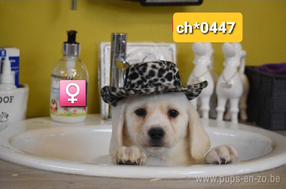 Labrador mix ch0447