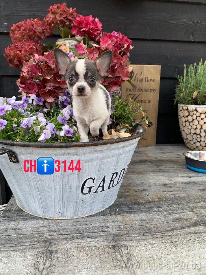 Chihuahua ch3144