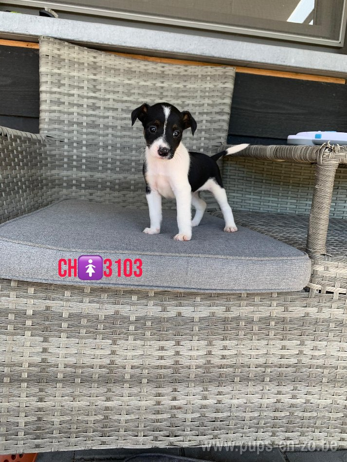 Jack russel ch3103
