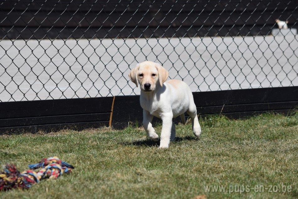 Labrador ch5927